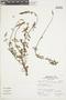 Salvia oppositiflora Ruíz & Pav., Peru, A. Sagástegui A. 15147, F