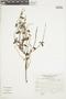 Salvia oppositiflora Ruíz & Pav., Peru, J. Mostacero León 968, F