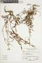 Salvia oppositiflora Ruíz & Pav., Peru, A. Sagástegui A. 11537, F