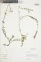 Salvia oppositiflora Ruíz & Pav., Peru, I. M. Sánchez Vega 5590, F