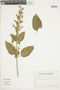 Salvia sprucei Briq., ECUADOR, F