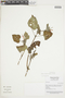 Salvia squalens Kunth, Peru, N. Dostert 98/77, F