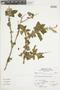 Salvia squalens Kunth, Peru, A. Sagástegui A. 15069, F