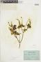 Salvia squalens Kunth, ECUADOR, F