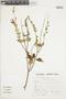 Salvia squalens Kunth, Peru, S. Llatas Quiroz 2485, F