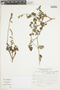 Salvia cf. squalens Kunth, Peru, J. Mostacero León 680, F