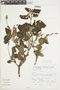 Salvia squalens Kunth, Peru, S. Llatas Quiroz 1626, F