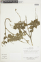 Salvia squalens Kunth, PERU, F