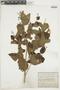Salvia stachydifolia Benth., ARGENTINA, F