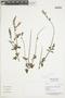 Salvia striata Benth., PERU, F