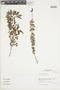 Salvia styphelus Epling, Peru, J. G. Sánchez V. 539, F