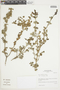 Salvia styphelus Epling, Peru, I. M. Sánchez Vega 1584, F