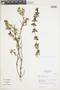 Salvia styphelus Epling, Peru, I. M. Sánchez Vega 6087, F
