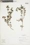 Salvia styphelus Epling, Peru, I. M. Sánchez Vega 6131, F