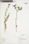 Salvia styphelus Epling, Peru, I. M. Sánchez Vega 2945, F