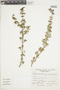 Salvia styphelus Epling, Peru, A. Sagástegui A. 7774, F