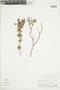 Salvia styphelus Epling, PERU, F