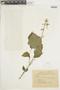 Salvia subrotunda A. St.-Hil. ex Benth., PARAGUAY, F