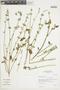 Salvia tafallae Benth., Peru, I. M. Sánchez Vega 458, F