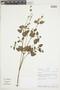 Salvia tiliifolia Vahl, PERU, F