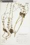 Salvia tiliifolia Vahl, Peru, A. López M. 8908, F