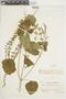 Salvia tiliifolia Vahl, VENEZUELA, F