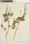 Salvia tiliifolia image