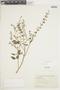 Salvia tiliifolia Vahl, ECUADOR, F