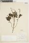Salvia tiliifolia Vahl, COLOMBIA, F