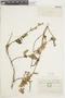 Salvia tortuosa Kunth, ECUADOR, F