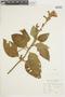 Salvia tortuosa Kunth, COLOMBIA, F