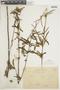 Salvia uliginosa Benth., URUGUAY, F