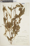 Salvia uliginosa Benth., ARGENTINA, F