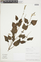 Salvia tubiflora Ruíz & Pav., PERU, F