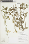 Salvia cf. tubiflora Ruíz & Pav., Peru, J. M. Cabanillas S. 440, F