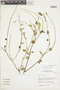 Salvia cf. tubiflora Ruíz & Pav., Peru, J. M. Cabanillas S. 647, F