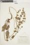 Salvia verbenacea L., ARGENTINA, F