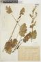 Salvia verbenacea L., URUGUAY, F