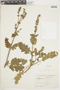 Salvia verbenacea L., ECUADOR, F