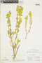 Salvia xanthophylla Epling & Játiva, PERU, F