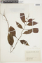 Salvia L., COLOMBIA, F
