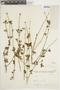 Salvia L., ARGENTINA, F