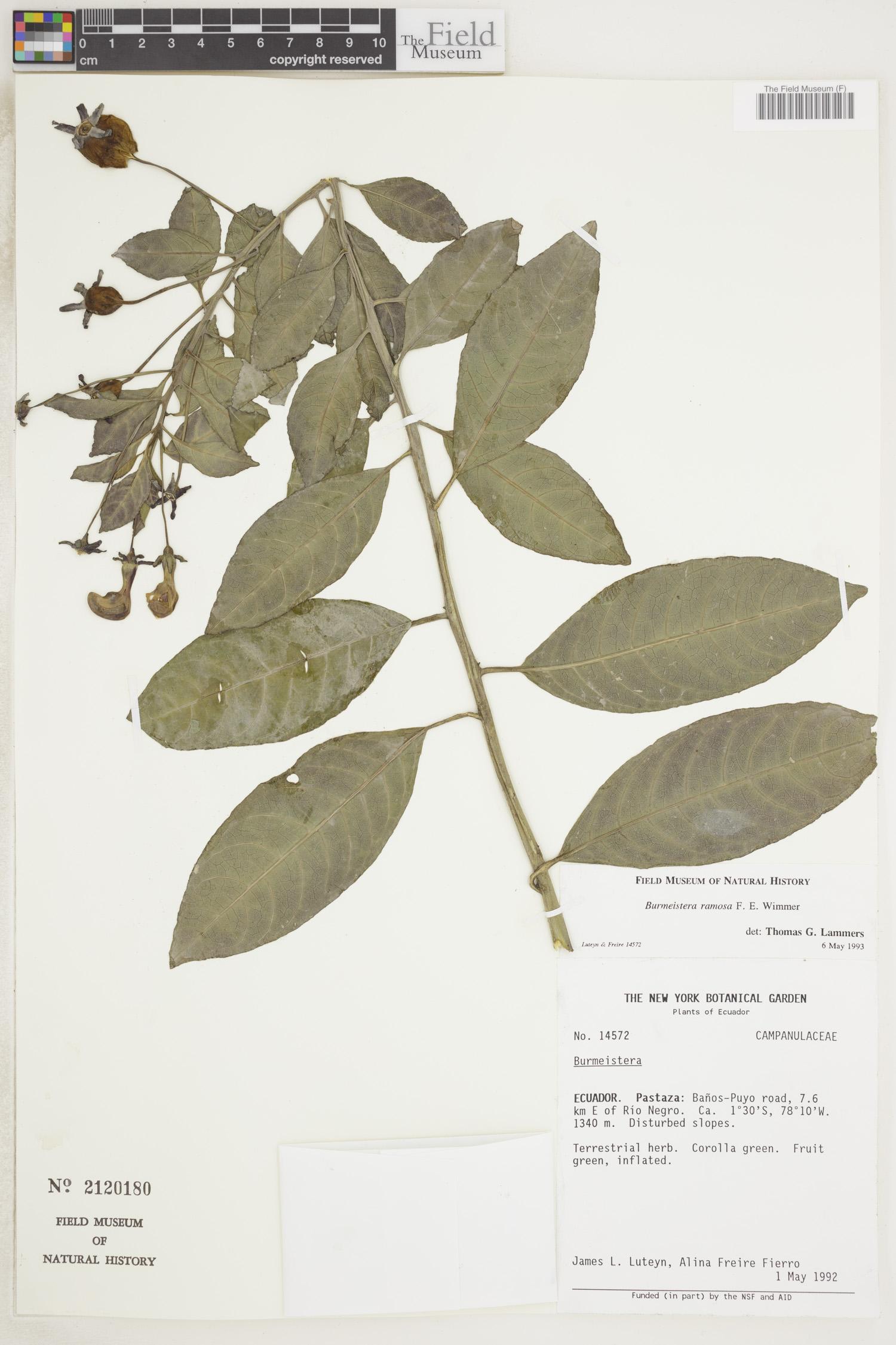 Burmeistera ramosa image
