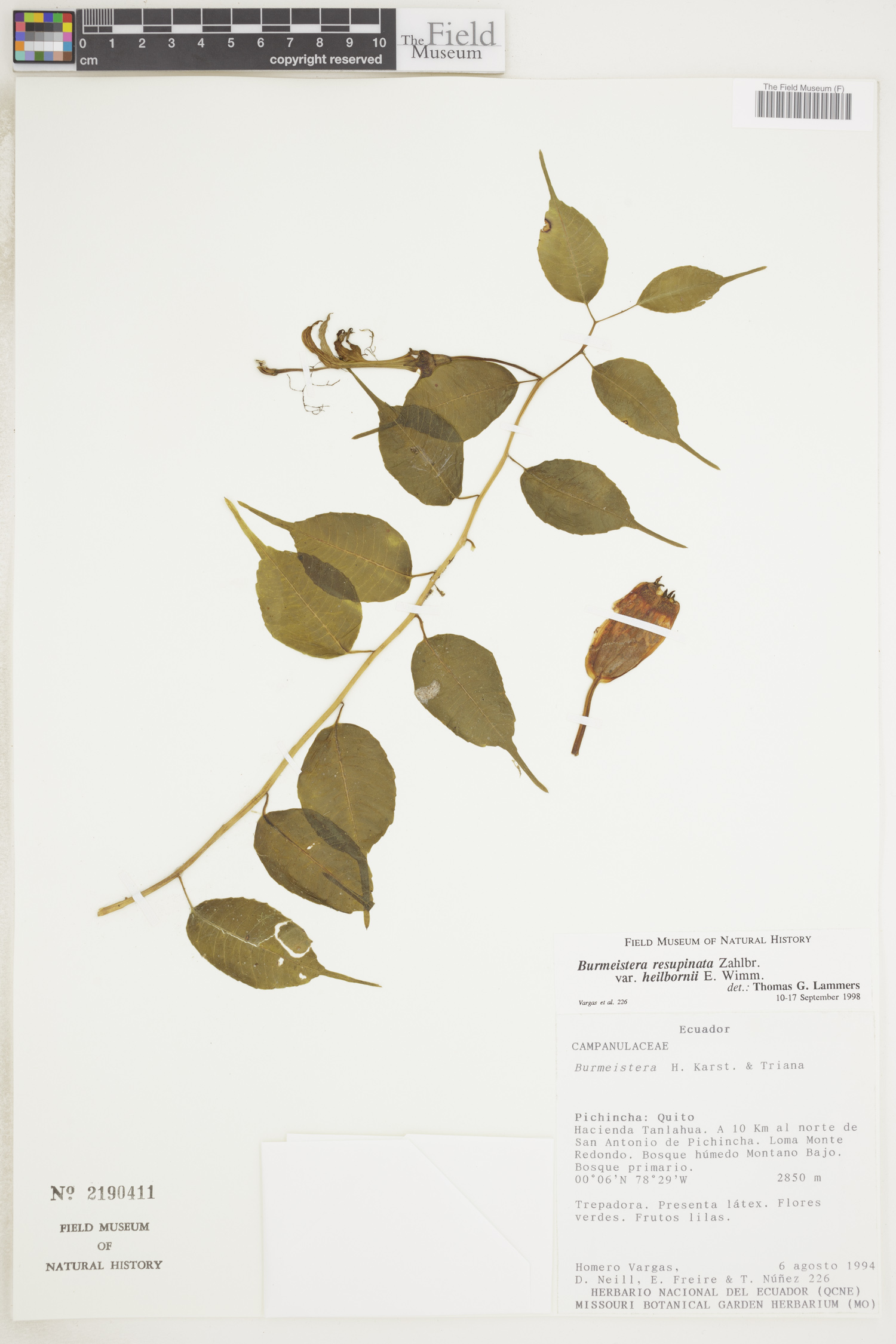 Burmeistera resupinata image