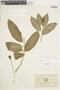 Burmeistera sodiroana image