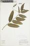 Burmeistera succulenta image