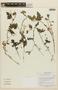 Caiophora carduifolia image