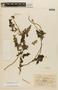 Caiophora contorta image