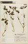 Klaprothia fasciculata image