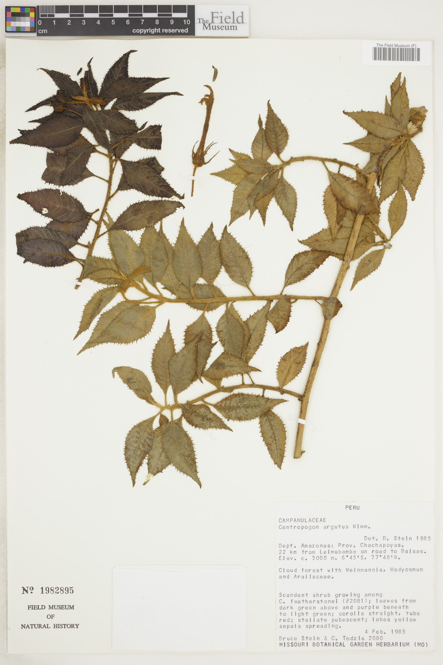 Centropogon argutus image